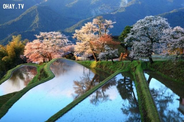Ruộng bậc thang, Nhật Bản,ảnh thiên nhiên đẹp,ảnh thiên nhiên rực rỡ sắc màu,ảnh đẹp