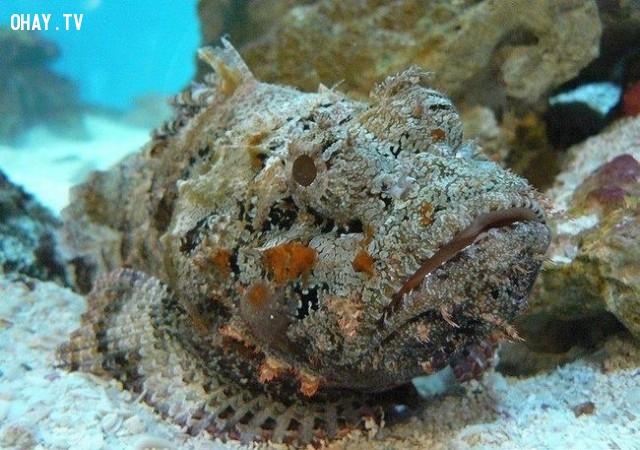 Vậy còn một chú cá đá tài giỏi về ngụy trang?,nước úc,du lịch úc,quốc gia đáng sợ nhất,động vật úc