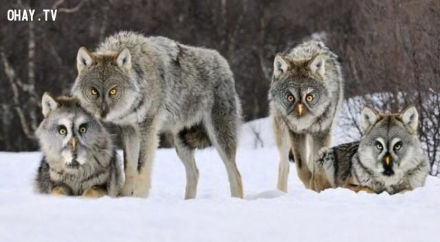 Những con cú sói đang chuẩn bị săn mồi!,động vật lai,hình ảnh kỳ quặc,hài hước