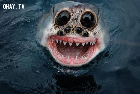 Một con cá mập với đôi mắt của nhện, khó tin thiệt!,động vật lai,hình ảnh kỳ quặc,hài hước