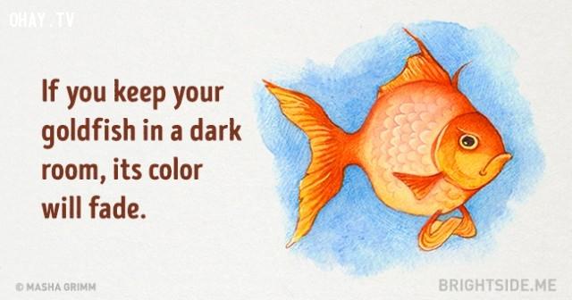 2. Nếu bạn để cá vàng trong phòng tối, màu của nó sẽ phai dần.,những điều thú vị trong cuộc sống,sự thật thú vị,sự thật đáng kinh ngạc