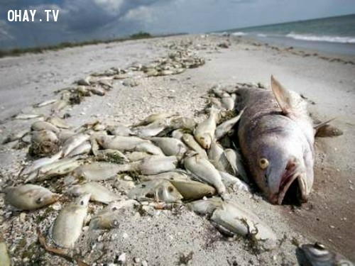 ,thủy triều đỏ là gì,cá chết hàng loạt,nguyên nhân cá chết hàng loạt