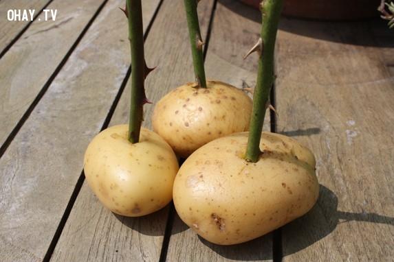 Tiếp theo, đây là bước cực kì quan trọng. Bạn hãy lấy vài củ khoai tây, khoét một lỗ trên củ khoai tây và ghim mỗi nhánh hoa hồng vào mỗi củ.,trồng hoa hồng,những điều thú vị trong cuộc sống,mẹo vặt