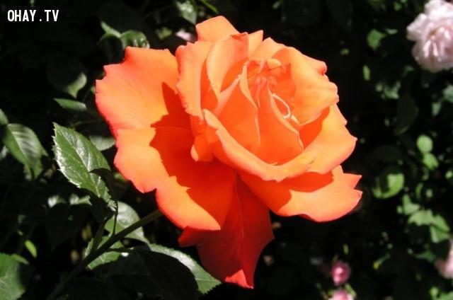 Sau một vài tuần, bạn sẽ có những cây hoa hồng khỏe mạnh, tươi tốt, ra hoa xinh đẹp.,trồng hoa hồng,những điều thú vị trong cuộc sống,mẹo vặt