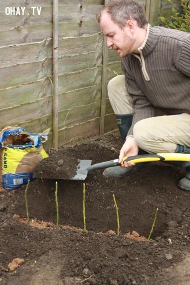 Đặt những khoai tây có ghim nhánh hoa hồng vào luống đã chuẩn bị, khoảng cách giữa chúng khoảng 15 cm.,trồng hoa hồng,những điều thú vị trong cuộc sống,mẹo vặt