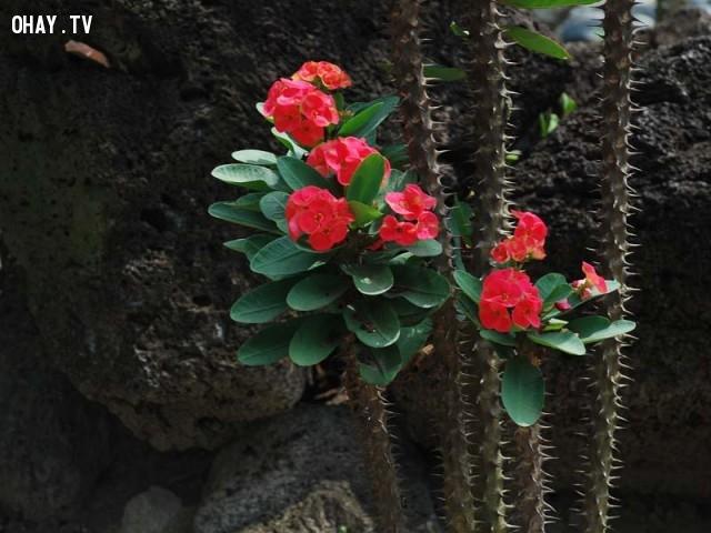 4.Xương rồng bát tiên,cây ưa nắng,cây cảnh,cây trang trí,cây dễ trồng,cây trong nhà