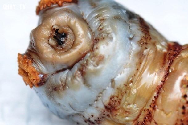 5. Ấu trùng ruồi trâu ký sinh dưới da đầu,động vật ký sinh,loài ký sinh đáng sợ,sán, giun, ấu trùng ruồi trâu,sán,giòi,ấu trùng giòi,ấu trùng ruồi trâu,Chuyện những loài ký sinh đáng sợ,ký sinh trên cơ thể người