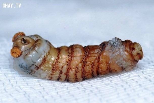 8. Ấu trùng ruồi trâu ký sinh trong mắt,động vật ký sinh,loài ký sinh đáng sợ,sán, giun, ấu trùng ruồi trâu,sán,giòi,ấu trùng giòi,ấu trùng ruồi trâu,Chuyện những loài ký sinh đáng sợ,ký sinh trên cơ thể người