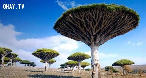 2. Rừng cây huyết rồng tại Yemen. ,địa điểm tuyệt đẹp,địa điểm tuyệt đẹp ngỡ như chỉ có trong mơ,cảnh đẹp,ảnh đẹp,cảnh đẹp hùng vĩ,cảnh đẹp như mơ,khám phá thú vị