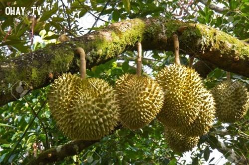 Sầu riêng loại quả bị cấm mang lên tàu ,,ẩm thực,những điều thú vị trong cuộc sống