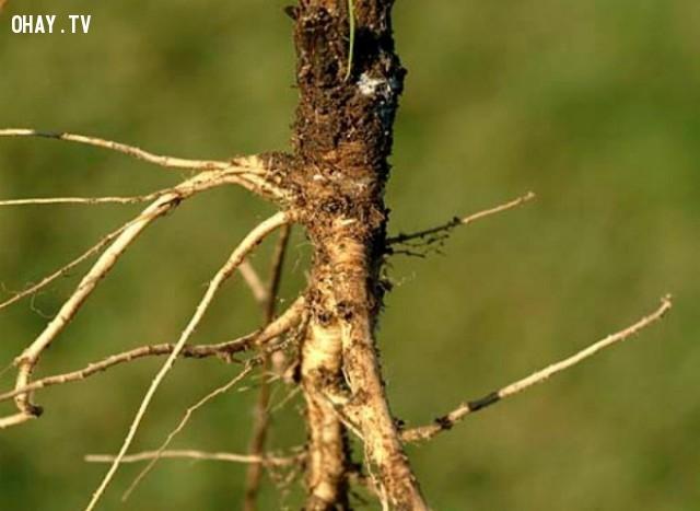 2. Đây là cà rốt hoang. Chúng được trồng từ thế kỷ thứ 10, ở khu vực Tiểu Á, Ba Tư.  Ban đầu thân của chúng chia nhiều nhánh, có màu trắng hoặc tím sau đó những phần này dần chuyển sang màu vàng, hai năm ra hoa một lần.,những sự thật thú vị,cây trồng,rau củ quả