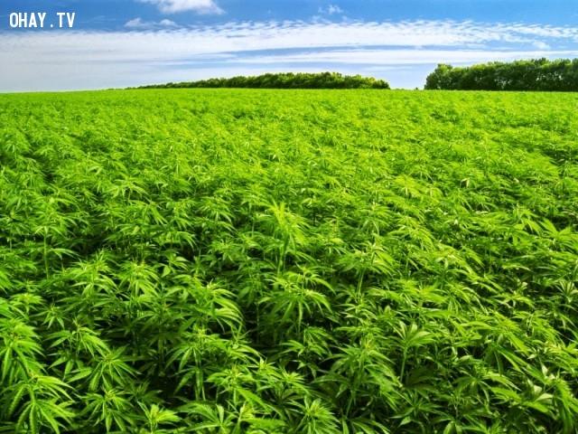 Cây cần sa và luật pháp,Cần sa,ma túy,Những điều ít biết