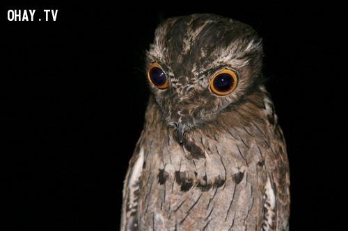 Chim Potoo,loài chim kỳ lạ,khám phá,Chim hải âu Petrel khổng lồ.