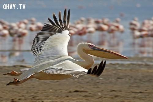 Bồ nông trắng khổng lồ.,loài chim kỳ lạ,khám phá,Chim hải âu Petrel khổng lồ.
