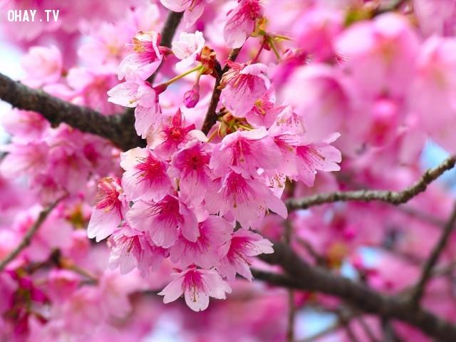 8.Nhật Bản: Hoa Anh Đào,Quốc hoa,Hoa và đất nước,Hoa biểu tượng