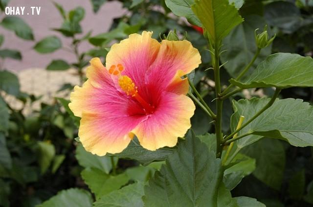 9.Malaysia: Dâm Bụt,Quốc hoa,Hoa và đất nước,Hoa biểu tượng