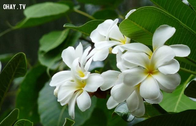 3.Lào: Đại/Sứ,Quốc hoa,Hoa và đất nước,Hoa biểu tượng