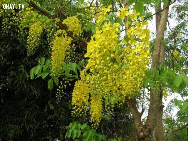 4.Thái Lan: Muồng Hoàng Yến/Bọ Cạp Nước,Quốc hoa,Hoa và đất nước,Hoa biểu tượng