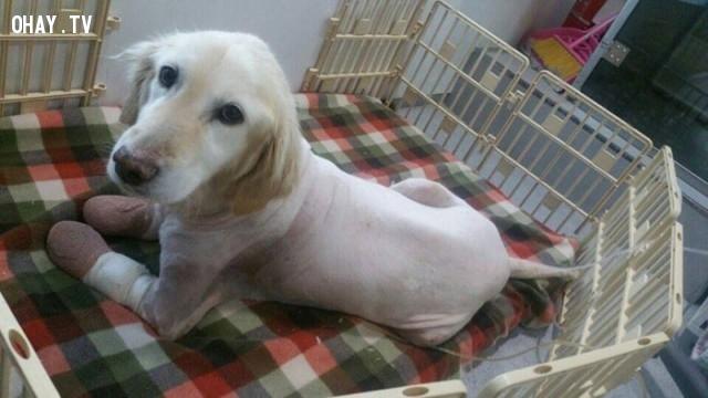 Tất cả các bàn chân của cô chó nhỏ đã được phẫu thuật cắt bỏ để cứu mạng sống cho cô, ánh mắt cô lúc nào cũng ánh lên niềm hi vọng.,
