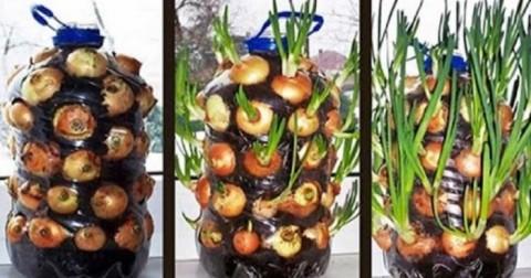 Chỉ với một chai nhựa, bạn sẽ trồng được vườn hành 'sạch' ăn mãi không hết