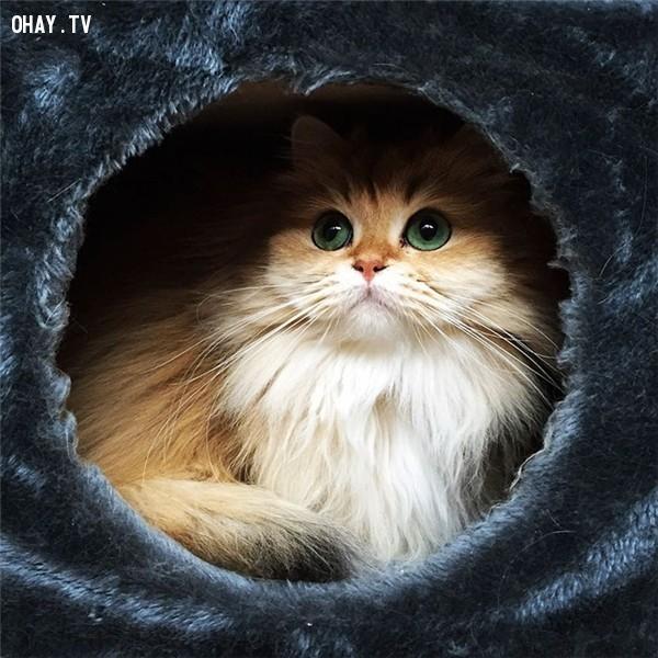 ,Smoothie cat,photogenic cat,cuteness cat,mèo lông dài nước Anh,mèo đẹp