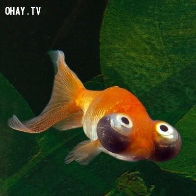 Cá vàng calestial,động vật xấu xí,thế giới động vật