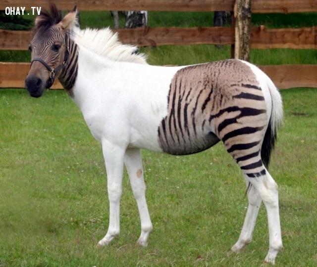 Đây là con lai của một con ngựa và một con ngựa vằn - lừa vằn.,ảnh không photoshop,ảnh kì lạ,khám phá
