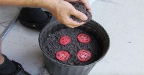 Chuyện gì xảy ra khi bạn quăng một vài miếng cà chua vào chậu đất?