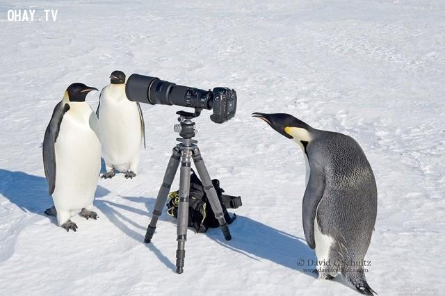 Những chú chim cánh cụt đang khám phá chiếc máy ảnh,bức tranh thú vị,nhà nhiếp ảnh,những con vật