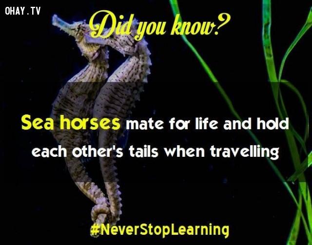 6. Cá ngựa chỉ sống với một bạn đời và quấn đuôi nhau khi di cư.,sự thật thú vị,những điều thú vị trong cuộc sống,khám phá,sự thật đáng kinh ngạc,có thể bạn chưa biết