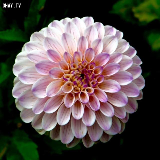 Bông hoa nở tròn đều từng cánh.,ảnh hoàn hảo,sự hoàn hảo,yêu thích sự hoàn hảo