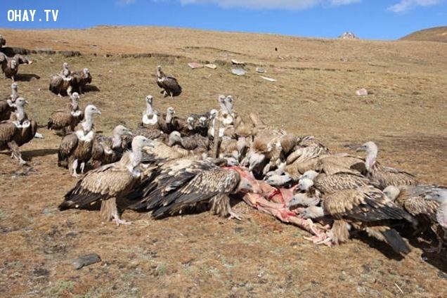 Thiên táng hay Điểu táng rùng rợn của người Tây Tạng.,xác chết,kinh dị,khám phá