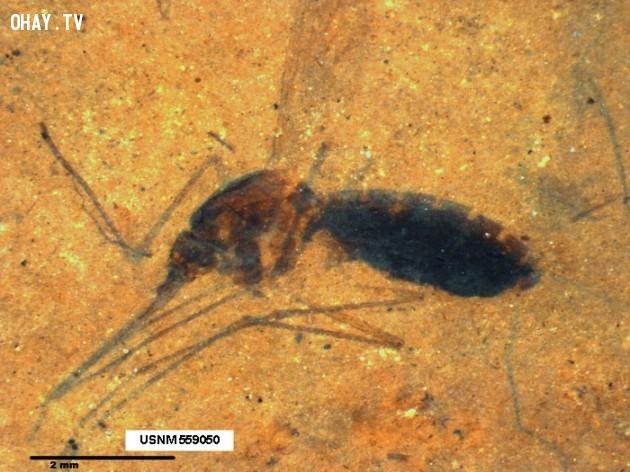 7. Muỗi có mặt trên Trái Đất từ 210 triệu năm trước,muỗi,những điều thú vị trong cuộc sống