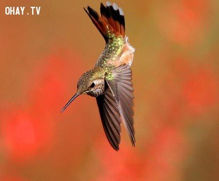 1. Chim ruồi (hummingbirds) là loài chim duy nhất có khả năng bay lùi.,những điều thú vị trong cuộc sống,có thể bạn chưa biết