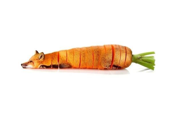 Cáo - cà rốt,
