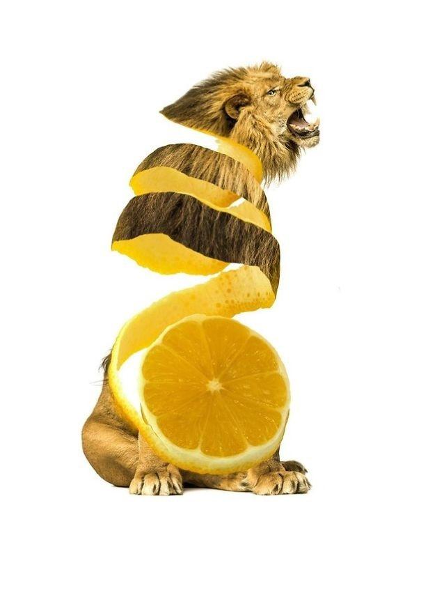Sư tử - Qủa chanh vàng.,