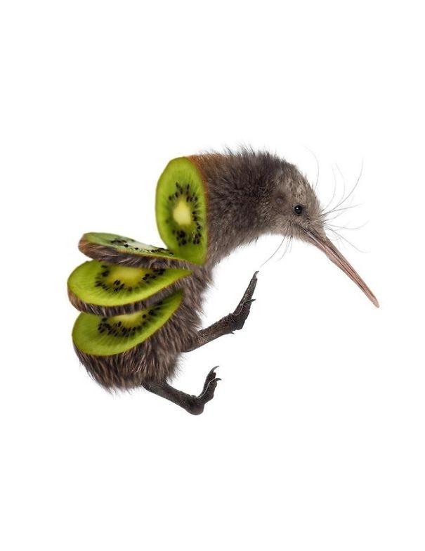 Chim kiwi - quả kiwi,