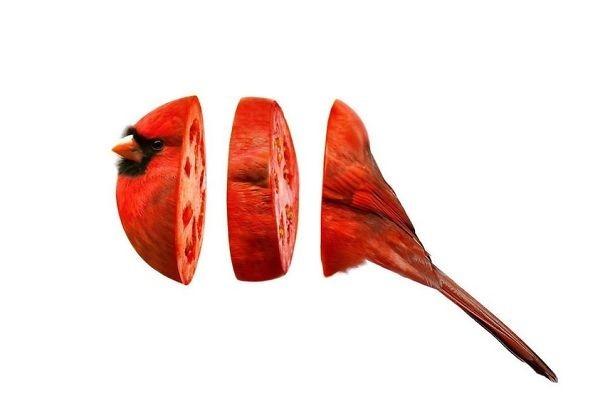 Chim chào mào hồng y - cà chua.,