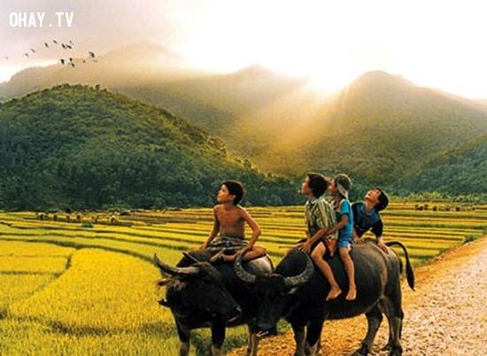 1. Chăn trâu bò trên những cánh đồng rộng lớn,kỷ niệm tuổi thơ,ký ức,nông thôn