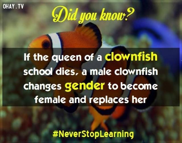 """2. Nếu """"nữ hoàng"""" của một bầy cá hề băng hà thì con đực lớn nhất sẽ nhanh chóng chuyển đổi giới tính và thế ngôi.,sự thật thú vị,những điều thú vị trong cuộc sống,khám phá,sự thật đáng kinh ngạc,có thể bạn chưa biết"""