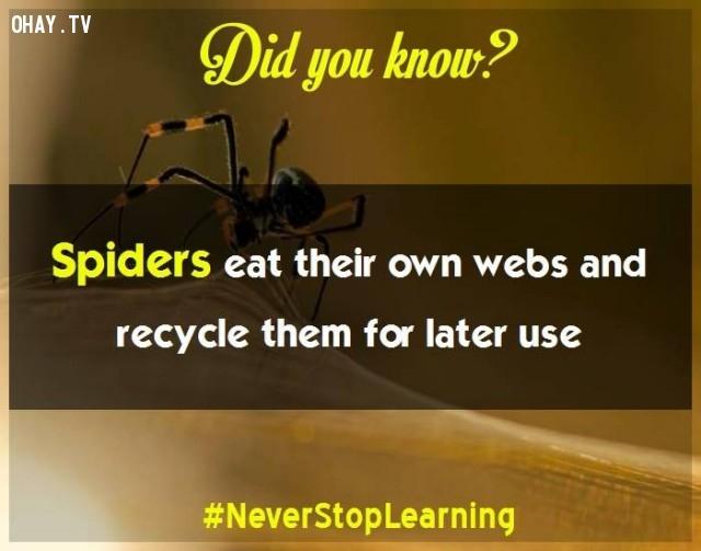 3. Nhện ăn chính mạng nhện của mình và tái tạo lại chúng cho lần sử dụng sau.,sự thật thú vị,những điều thú vị trong cuộc sống,khám phá,sự thật đáng kinh ngạc,có thể bạn chưa biết