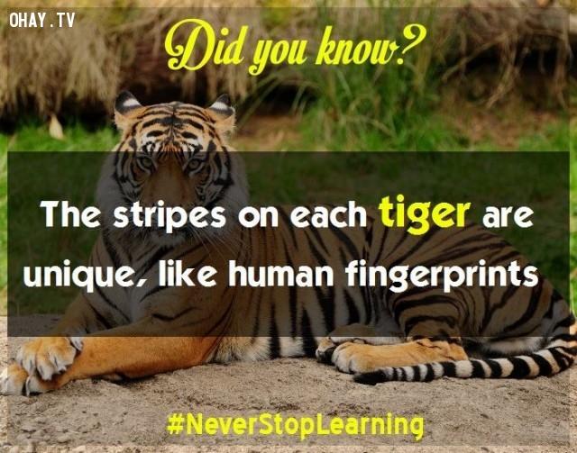 4. Sọc (vằn) trên mỗi con hổ là duy nhất, cũng giống như dấu vân tay của con người vậy.,sự thật thú vị,sự thật đáng kinh ngạc,những điều thú vị trong cuộc sống,có thể bạn chưa biết,khám phá