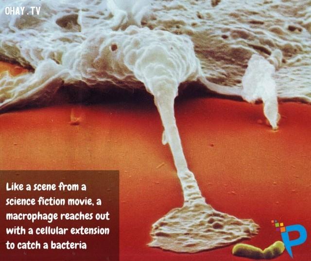 5. Giống như một cảnh trong phim khoa học viễn tưởng, một đại thực bào duỗi ra với một phần mở rộng di động để đuổi bắt một vi khuẩn.,tế bào bạch cầu,tế bào T,tiêu diệt vi khuẩn,tế bào dưới kính hiển vi,đại thực bào,những điều thú vị trong cuộc sống