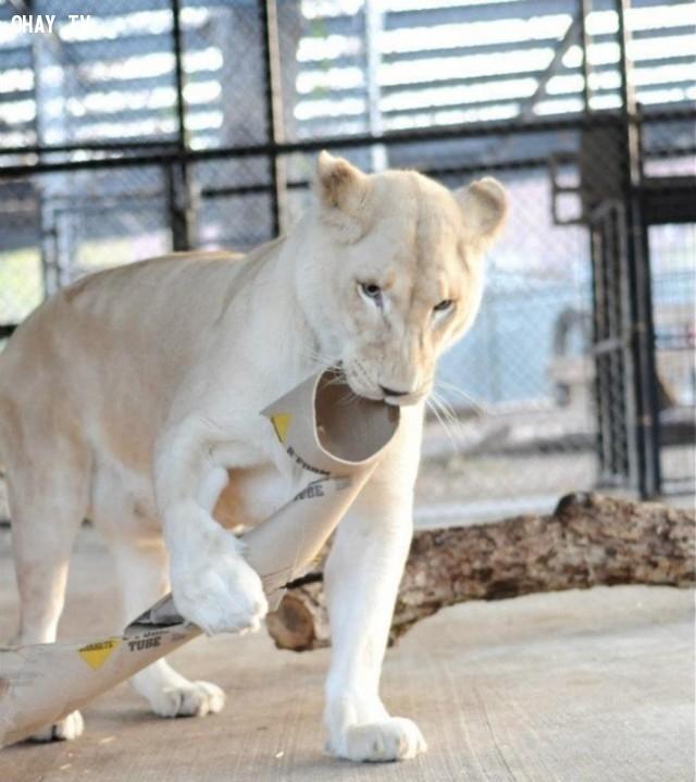 ,sư tử,tình yêu động vật,tình yêu đích thực,Kahn và Sheila