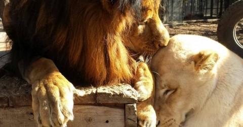 Tình yêu đích thực đã vực dậy cuộc đời sư tử