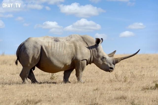 Sừng tê giác - 110 $ mỗi gram,vật liệu đắt tiền nhất,khám phá
