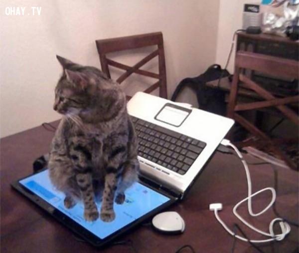 Này thì đừng ngồi vào bàn phím nữa!,18 hình ảnh hài hước về logic của loài mèo