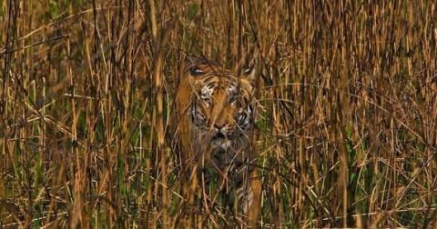 Tại sao con hổ lại có màu cam trong khi môi trường xung quanh toàn màu xanh
