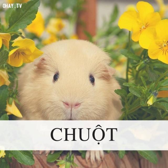 Chuột,
