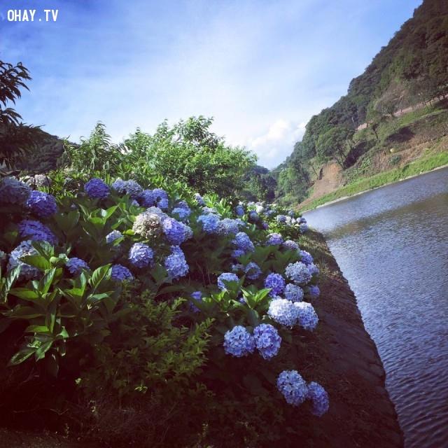 ,vườn hoa,cẩm tú cầu,Đà Lạt,Cao Bằng